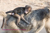 Baby Baboon hitches ride on mom Kruger Park South Africa