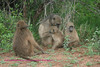 Chacma baboons near the Sabie River. Kruger Park South Africa