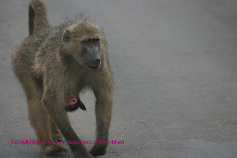 Chacma baboon with baby attached. Near entrance to Lower Sabie rest camp. Kruger Park South Africa