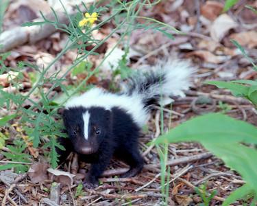 Baby Skunk 6/11/08