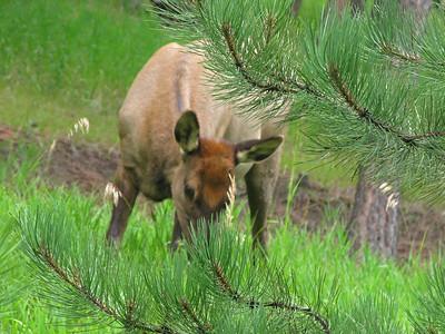 Elk 2009 (19)