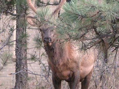 Elk 2010 9