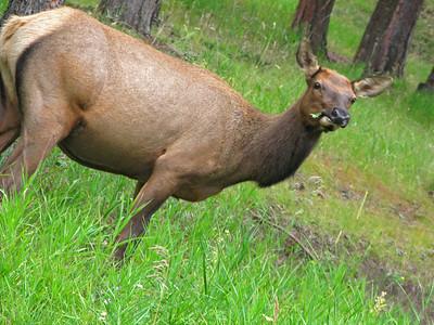 Elk 2009 (18)