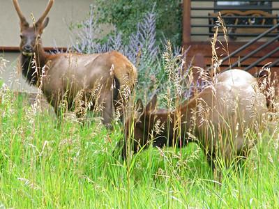 Elk 2009 (9)