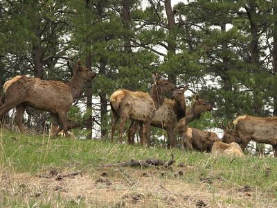 Elk 2010 4
