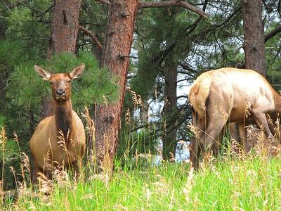 Elk 2009 (12)