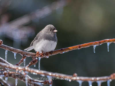 Backyard birds 5 Feb 2018-2623