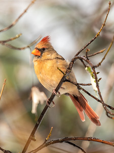 Female Cardinal 16 Nov 2018-5627