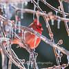 Backyard birds 5 Feb 2018-2688