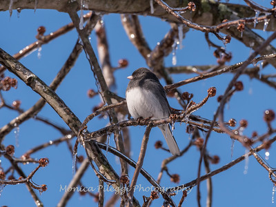 Backyard birds 5 Feb 2018-2676