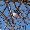 Backyard birds 5 Feb 2018-2676