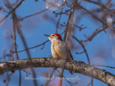 Backyard birds 5 Feb 2018-2593