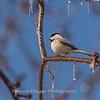 Backyard birds 5 Feb 2018-2588