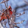 Backyard birds 5 Feb 2018-2633