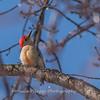 Backyard birds 5 Feb 2018-2596