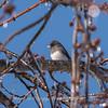 Backyard birds 5 Feb 2018-2609