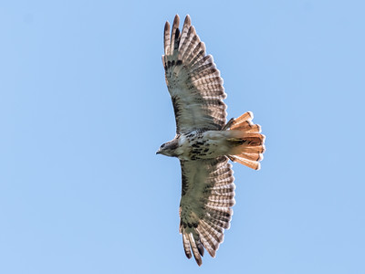 Red-Tail Hawk 30 Aug 2018-6064