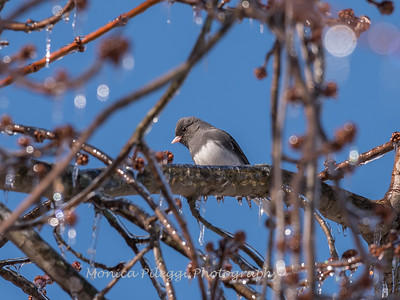 Backyard birds 5 Feb 2018-2613