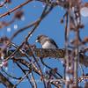 Backyard birds 5 Feb 2018-2613