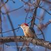 Backyard birds 5 Feb 2018-2602