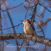 Backyard birds 5 Feb 2018-2601