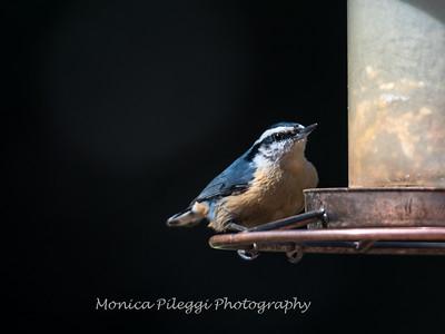 Back-yard-birds-9-March-2017-9081
