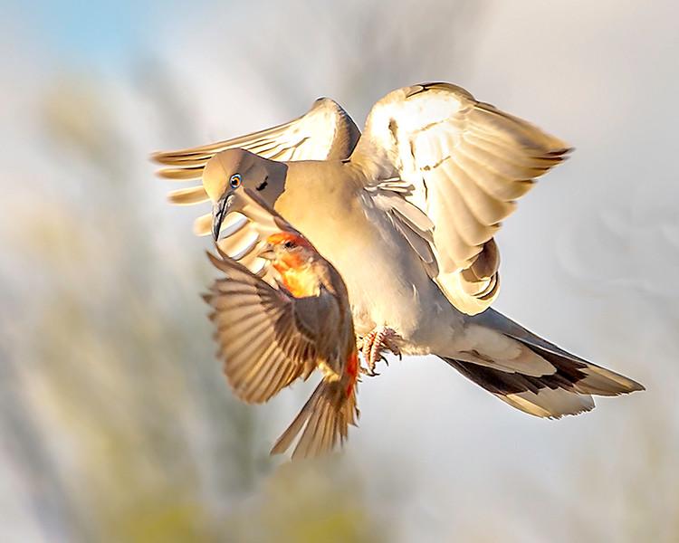 White-wing Dove_Mid Air Collision - Arizona