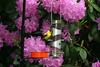American Goldfinch <i>(Carduelis tristis)</i>   (June 3, 2007)