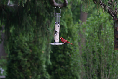 Northern Cardinal [male]