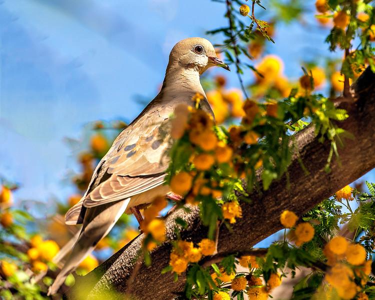 Mourning Dove - Arizona