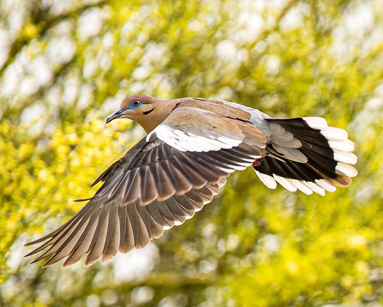 White-wing Dove - Arizona
