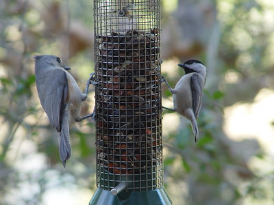 Titmouse and Chickadee