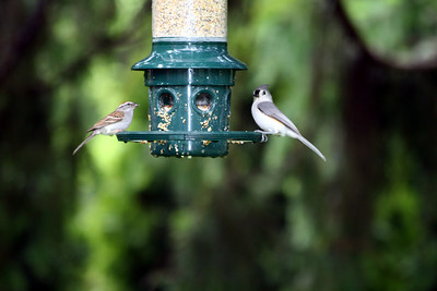 Chipping Sparrow and Tufted Titmouse