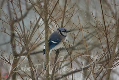 6568-Blue Jay