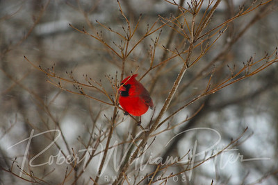 6623-Male Cardinal
