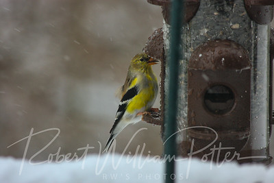 6610-Male Goldfinch