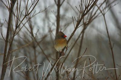 6629-Female Cardinal