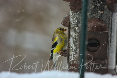 6615-Male Goldfinch