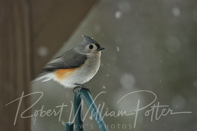 6507-Tufted Titmouse