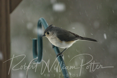 6524-Tufted Titmouse