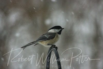 6527-Black Capped Chickadee