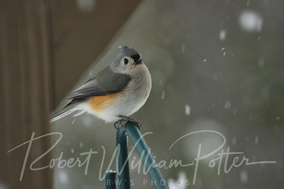 6509-Tufted Titmouse