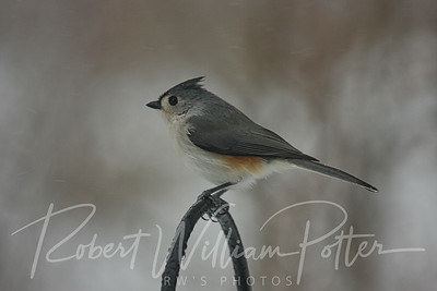 6632-Tufted Titmouse