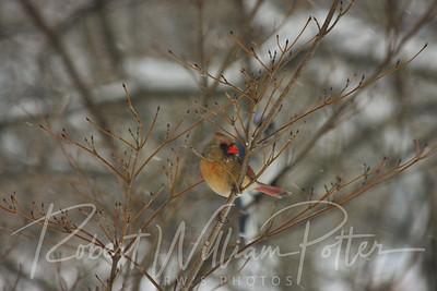 6576-Female Cardinal