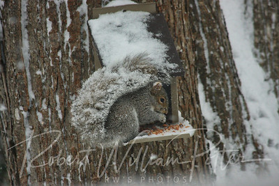 6504-Gray Squirrel