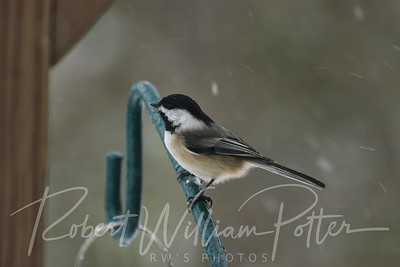6594-Black Capped Chickadee