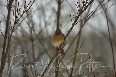 6630-Female Cardinal