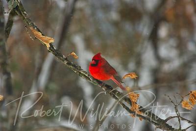 6635-Male Cardinal