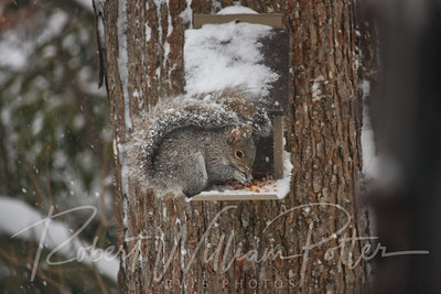 6483-Gray Squirrel