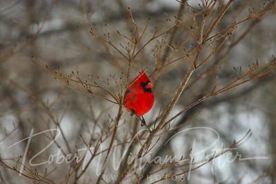 6622-Male Cardinal